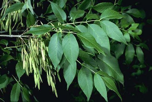 Fresno, hojas y semillas